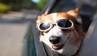 animali in auto in sicurezza